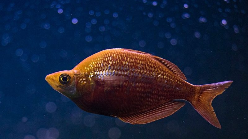 Agar Tumbuh Sehat, Yuk Simak Cara Merawat Ikan Koki