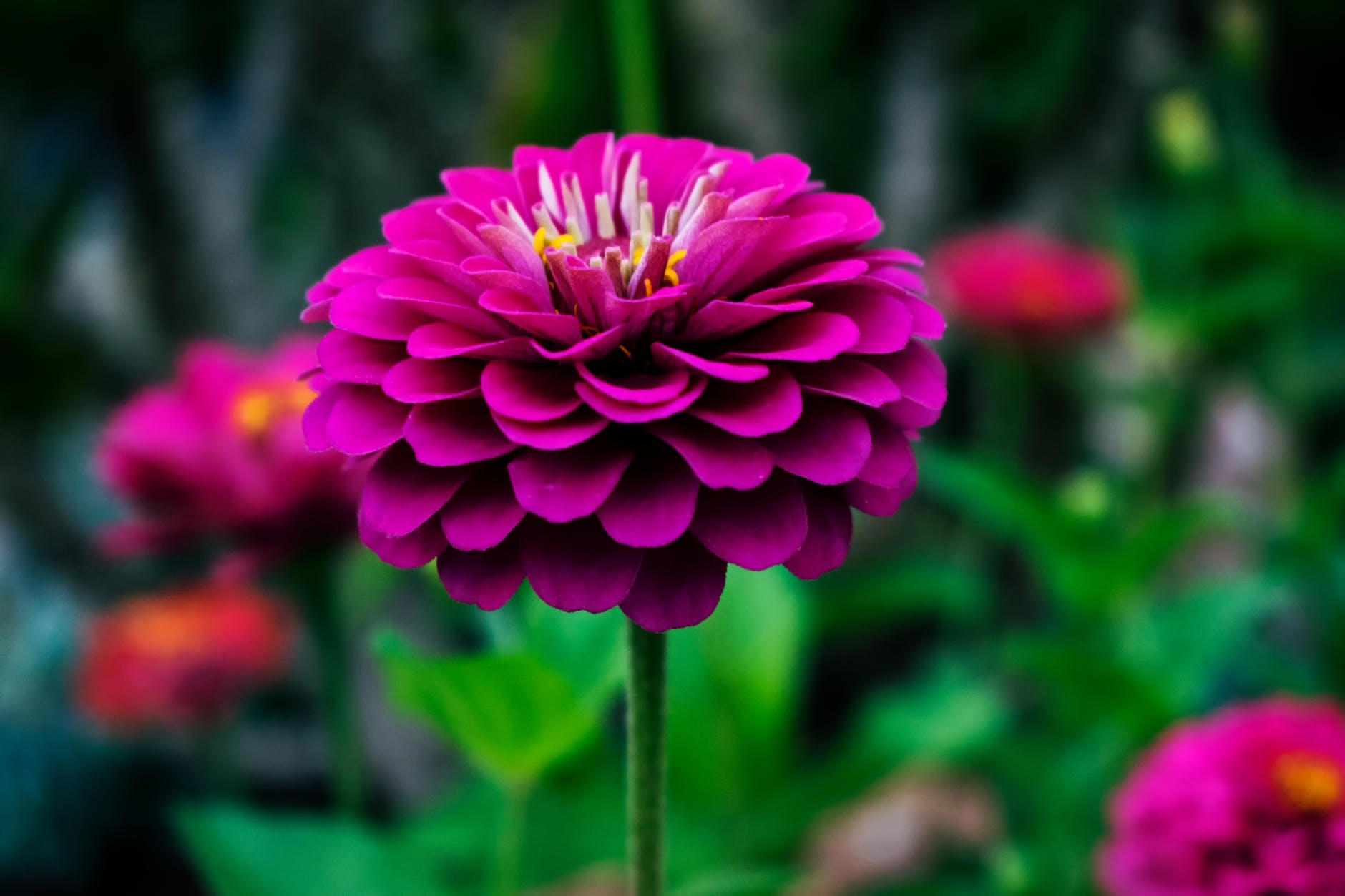 Keunikan Bunga Dahlia